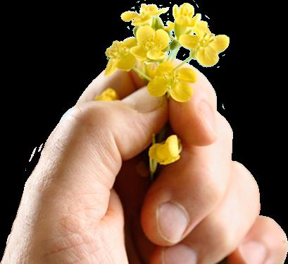 Hand holding canola